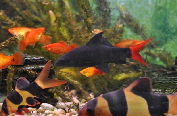 Рыбка лабео в общем аквариуме