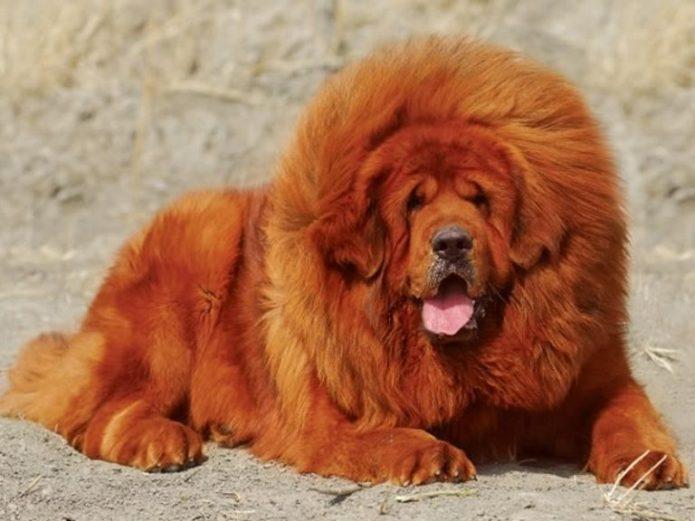 Самая дорогая собака в мире