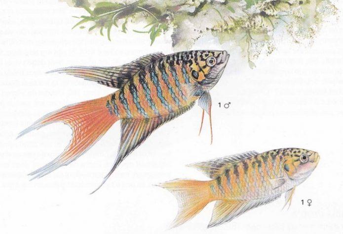 Самец и самка райских рыбок