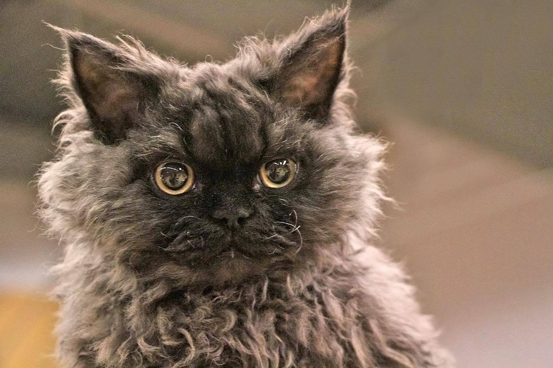 Кудрявый кот фотографии тому