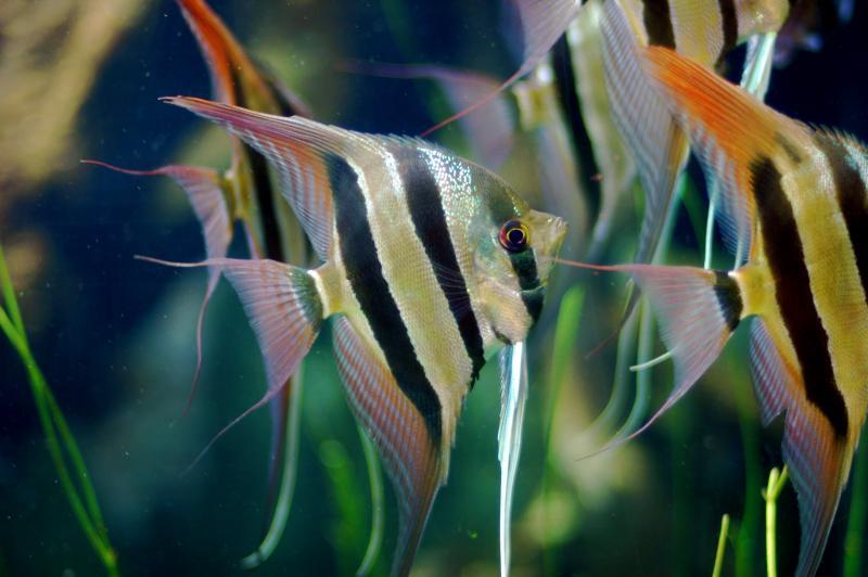 Скалярии в аквариуме
