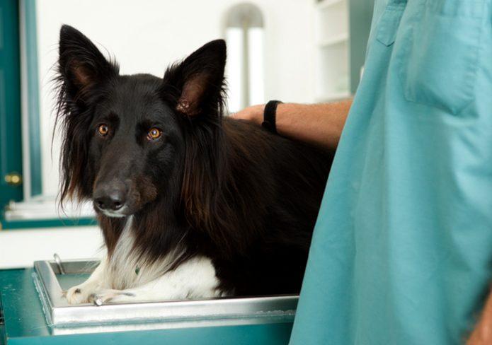 Собака на лечении