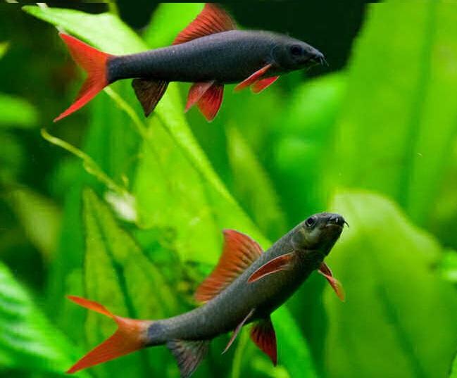 Спаривание и нерест рыбок лабео