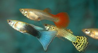 стайка рыбок гуппи